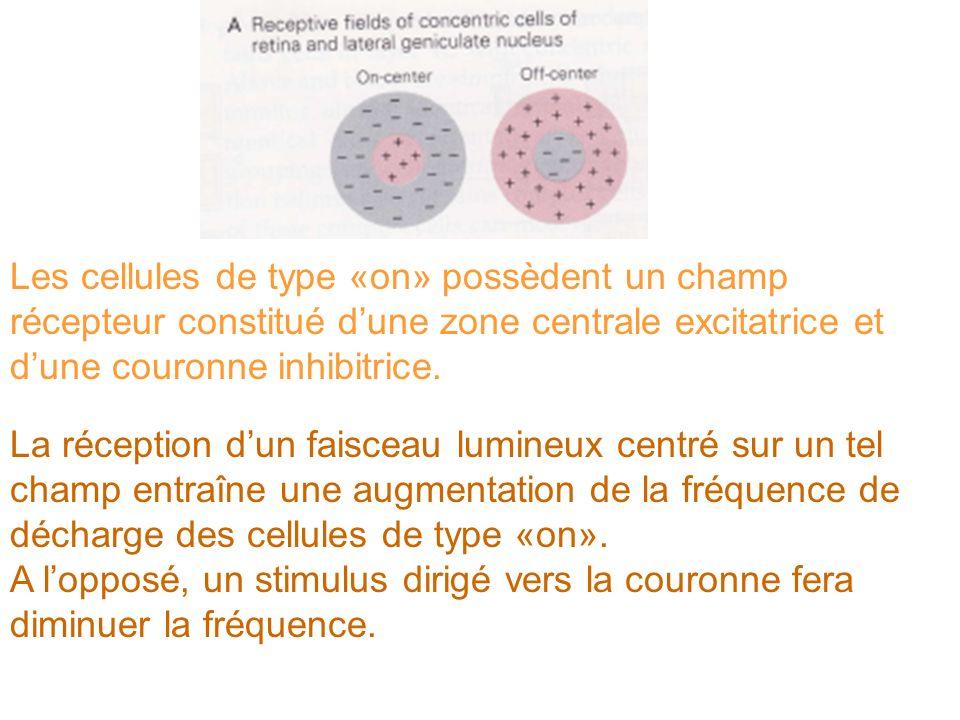 Les cellules de type «on» possèdent un champ récepteur constitué d'une zone centrale excitatrice et d'une couronne inhibitrice.