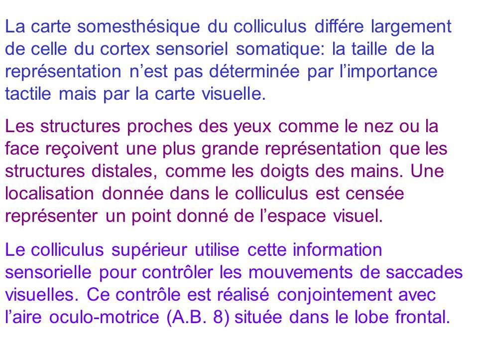 La carte somesthésique du colliculus différe largement de celle du cortex sensoriel somatique: la taille de la représentation n'est pas déterminée par l'importance tactile mais par la carte visuelle.