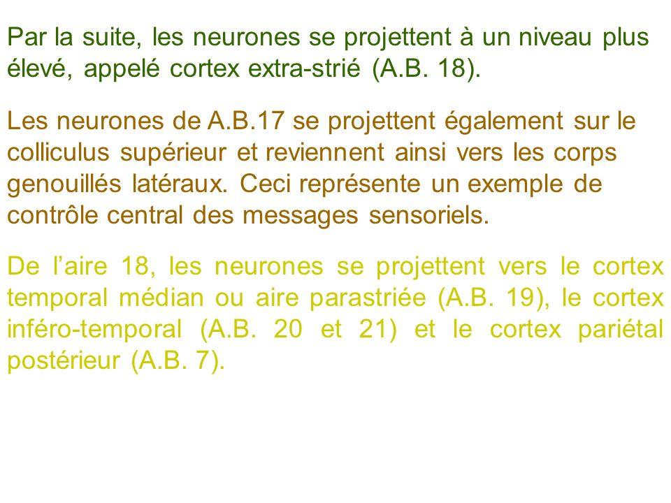 Par la suite, les neurones se projettent à un niveau plus élevé, appelé cortex extra-strié (A.B. 18).