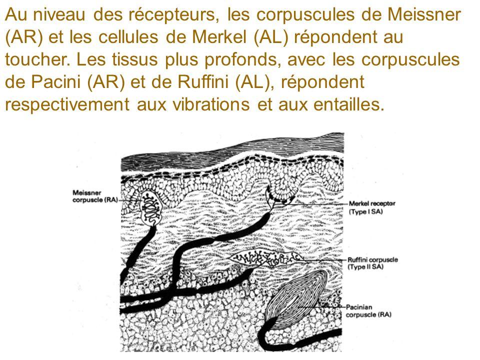 Au niveau des récepteurs, les corpuscules de Meissner (AR) et les cellules de Merkel (AL) répondent au toucher.