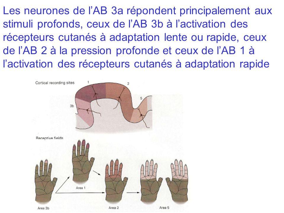 Les neurones de l'AB 3a répondent principalement aux stimuli profonds, ceux de l'AB 3b à l'activation des récepteurs cutanés à adaptation lente ou rapide, ceux de l'AB 2 à la pression profonde et ceux de l'AB 1 à l'activation des récepteurs cutanés à adaptation rapide