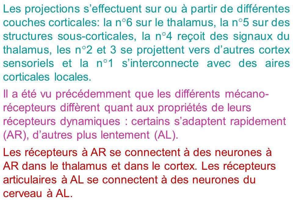 Les projections s'effectuent sur ou à partir de différentes couches corticales: la n°6 sur le thalamus, la n°5 sur des structures sous-corticales, la n°4 reçoit des signaux du thalamus, les n°2 et 3 se projettent vers d'autres cortex sensoriels et la n°1 s'interconnecte avec des aires corticales locales.