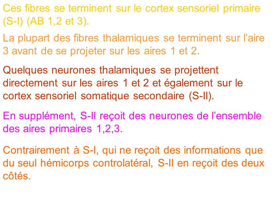 Ces fibres se terminent sur le cortex sensoriel primaire (S-I) (AB 1,2 et 3).