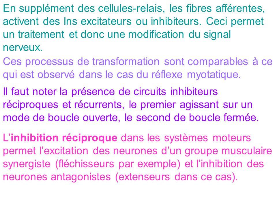 En supplément des cellules-relais, les fibres afférentes, activent des Ins excitateurs ou inhibiteurs. Ceci permet un traitement et donc une modification du signal nerveux.