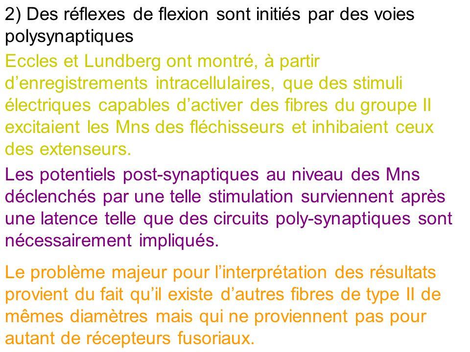 2) Des réflexes de flexion sont initiés par des voies polysynaptiques