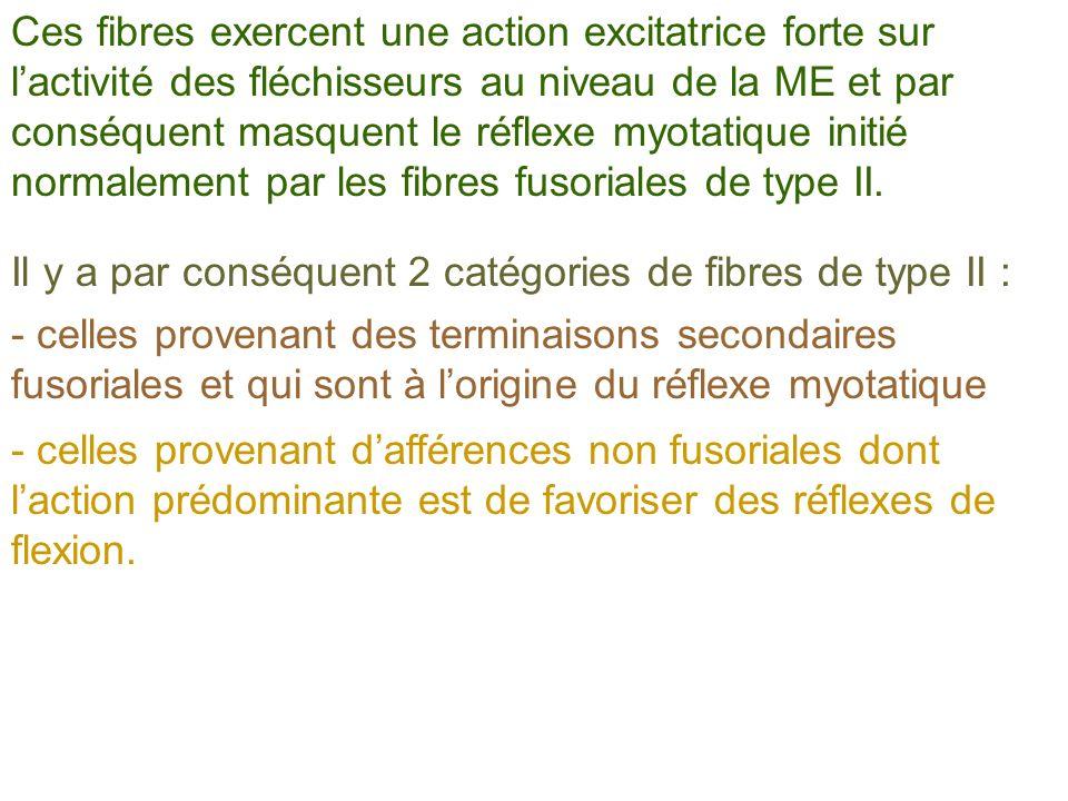 Ces fibres exercent une action excitatrice forte sur l'activité des fléchisseurs au niveau de la ME et par conséquent masquent le réflexe myotatique initié normalement par les fibres fusoriales de type II.