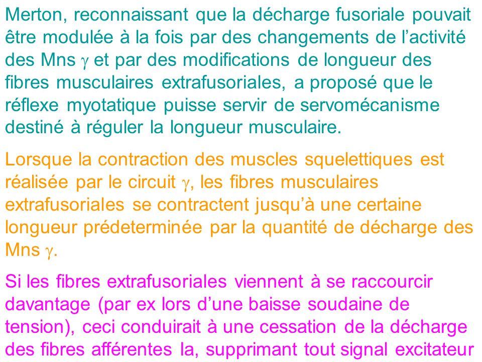 Merton, reconnaissant que la décharge fusoriale pouvait être modulée à la fois par des changements de l'activité des Mns g et par des modifications de longueur des fibres musculaires extrafusoriales, a proposé que le réflexe myotatique puisse servir de servomécanisme destiné à réguler la longueur musculaire.