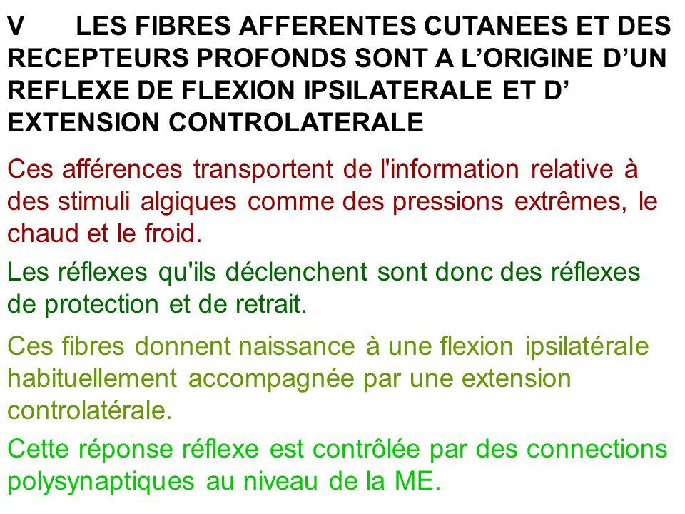 V LES FIBRES AFFERENTES CUTANEES ET DES RECEPTEURS PROFONDS SONT A L'ORIGINE D'UN REFLEXE DE FLEXION IPSILATERALE ET D' EXTENSION CONTROLATERALE