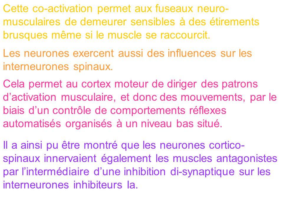 Cette co-activation permet aux fuseaux neuro-musculaires de demeurer sensibles à des étirements brusques même si le muscle se raccourcit.
