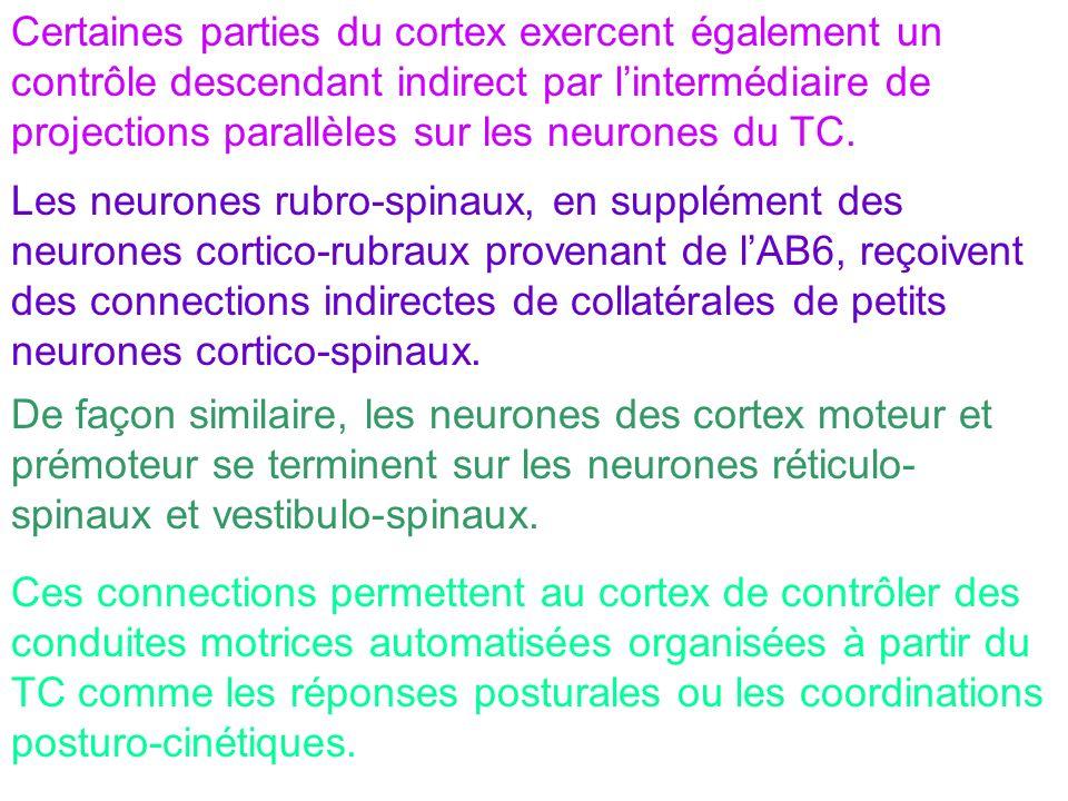 Certaines parties du cortex exercent également un contrôle descendant indirect par l'intermédiaire de projections parallèles sur les neurones du TC.