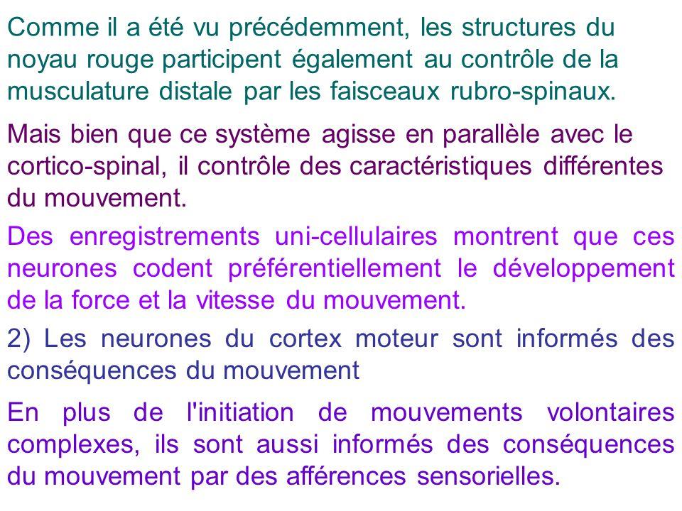 Comme il a été vu précédemment, les structures du noyau rouge participent également au contrôle de la musculature distale par les faisceaux rubro-spinaux.