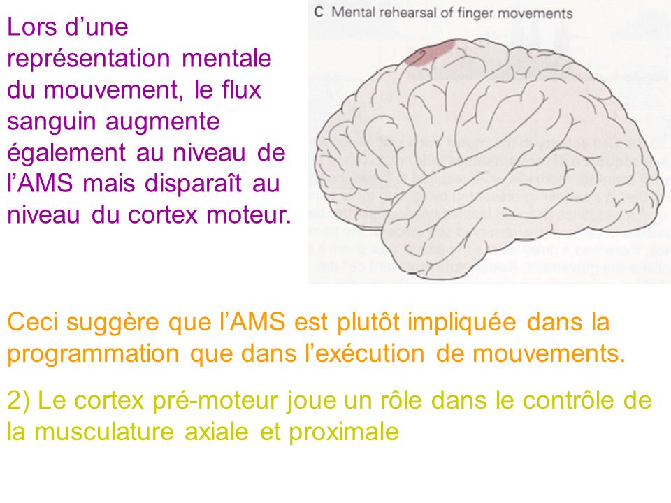 Lors d'une représentation mentale du mouvement, le flux sanguin augmente également au niveau de l'AMS mais disparaît au niveau du cortex moteur.