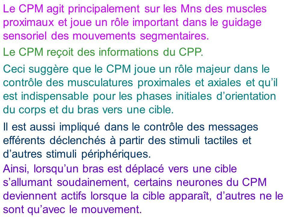 Le CPM agit principalement sur les Mns des muscles proximaux et joue un rôle important dans le guidage sensoriel des mouvements segmentaires.