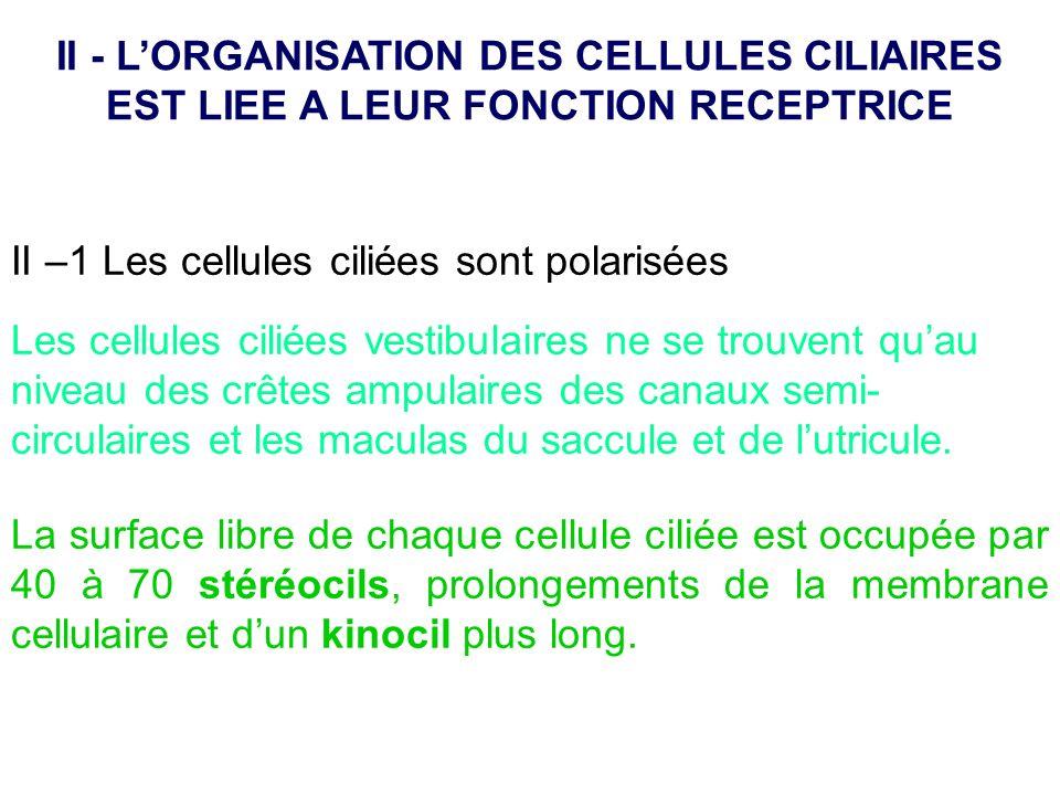 II - L'ORGANISATION DES CELLULES CILIAIRES EST LIEE A LEUR FONCTION RECEPTRICE