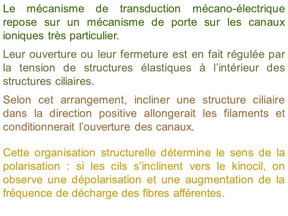 Le mécanisme de transduction mécano-électrique repose sur un mécanisme de porte sur les canaux ioniques très particulier.