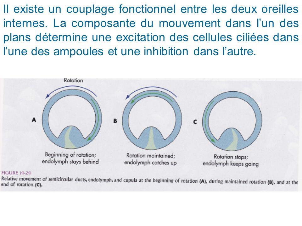 Il existe un couplage fonctionnel entre les deux oreilles internes