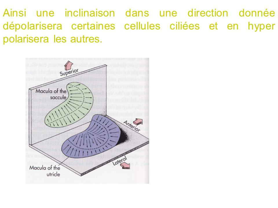 Ainsi une inclinaison dans une direction donnée dépolarisera certaines cellules ciliées et en hyper polarisera les autres.
