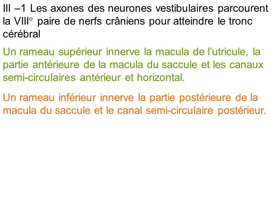 III –1 Les axones des neurones vestibulaires parcourent la VIII° paire de nerfs crâniens pour atteindre le tronc cérébral