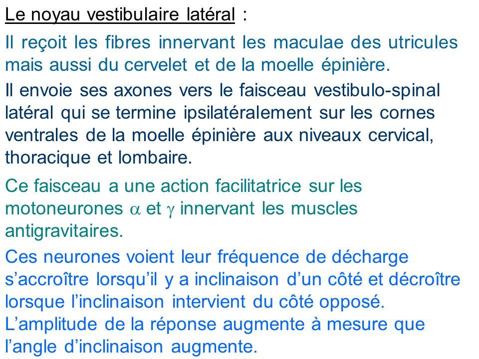 Le noyau vestibulaire latéral :