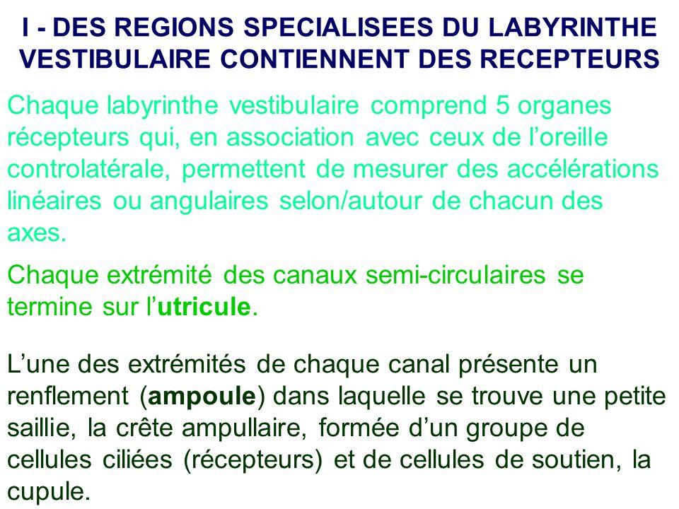 I - DES REGIONS SPECIALISEES DU LABYRINTHE VESTIBULAIRE CONTIENNENT DES RECEPTEURS