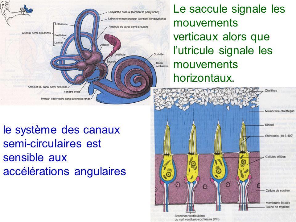 Le saccule signale les mouvements verticaux alors que l'utricule signale les mouvements horizontaux.