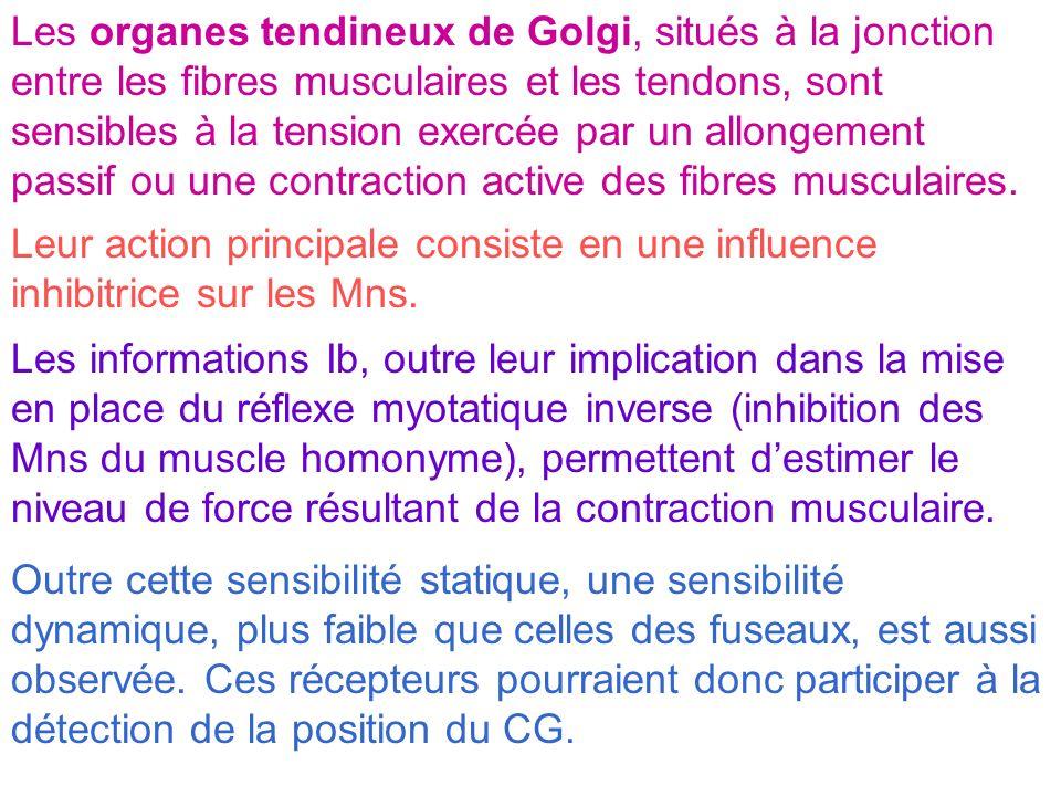 Les organes tendineux de Golgi, situés à la jonction entre les fibres musculaires et les tendons, sont sensibles à la tension exercée par un allongement passif ou une contraction active des fibres musculaires.