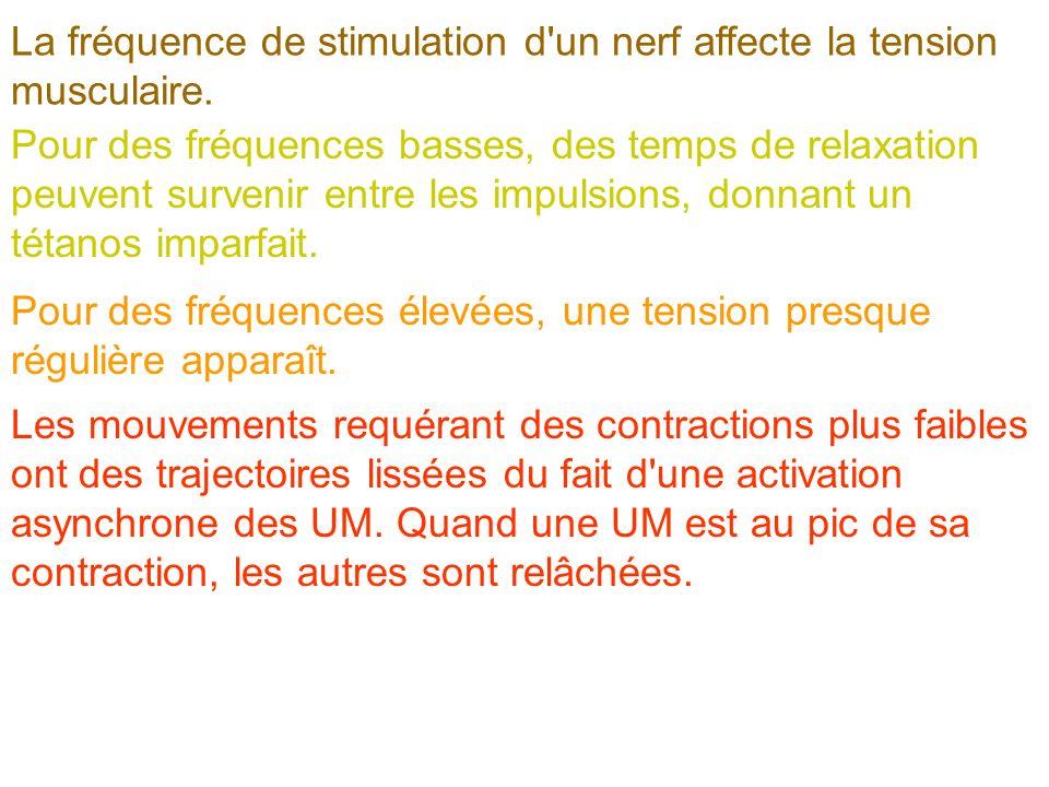 La fréquence de stimulation d un nerf affecte la tension musculaire.
