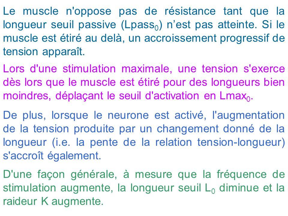 Le muscle n oppose pas de résistance tant que la longueur seuil passive (Lpass0) n'est pas atteinte. Si le muscle est étiré au delà, un accroissement progressif de tension apparaît.