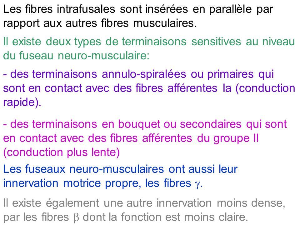 Les fibres intrafusales sont insérées en parallèle par rapport aux autres fibres musculaires.