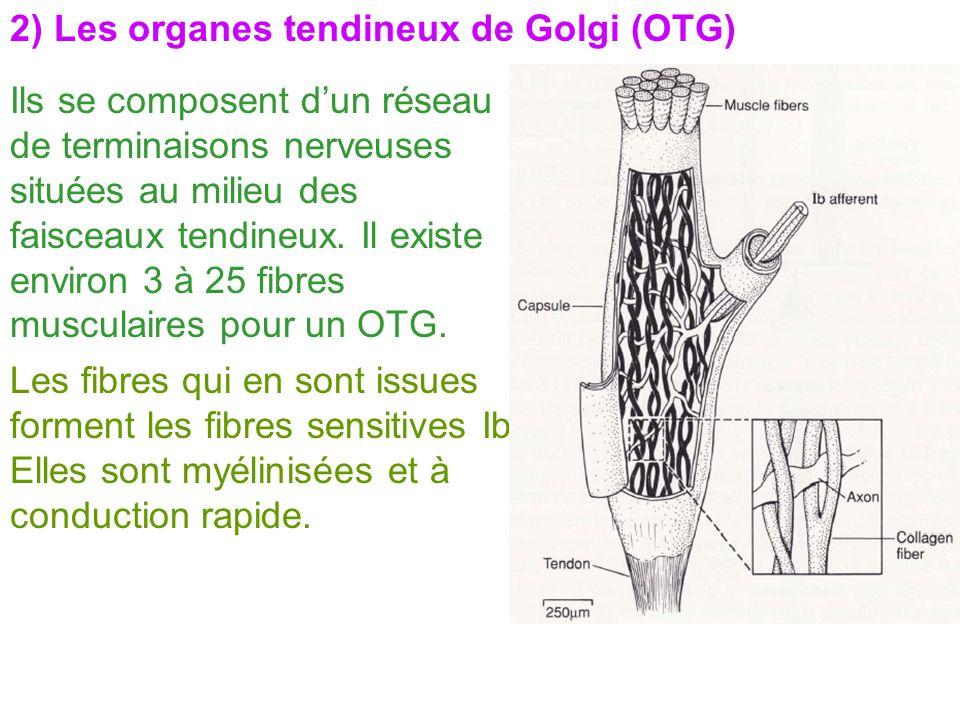 2) Les organes tendineux de Golgi (OTG)