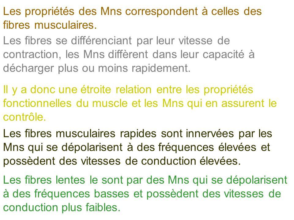 Les propriétés des Mns correspondent à celles des fibres musculaires.