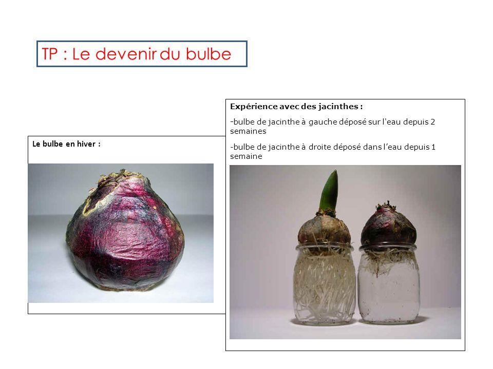 TP : Le devenir du bulbe Le bulbe en hiver :