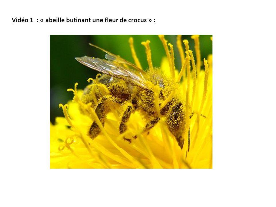 Vidéo 1 : « abeille butinant une fleur de crocus » :