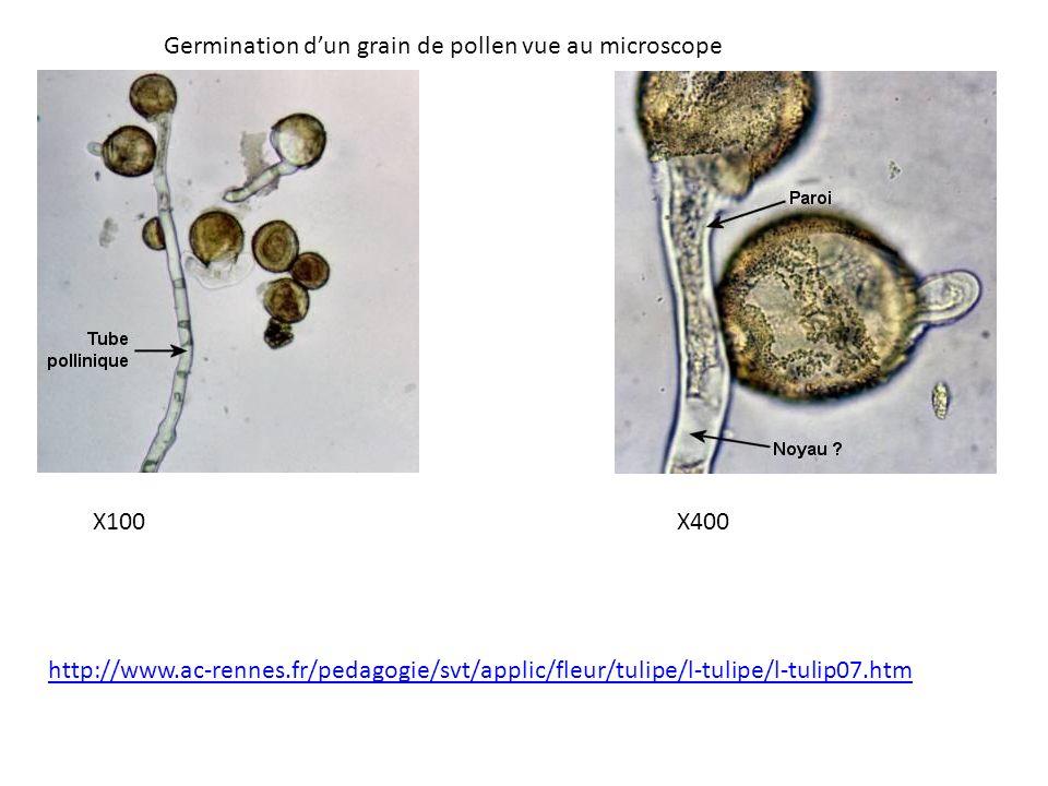 Germination d'un grain de pollen vue au microscope