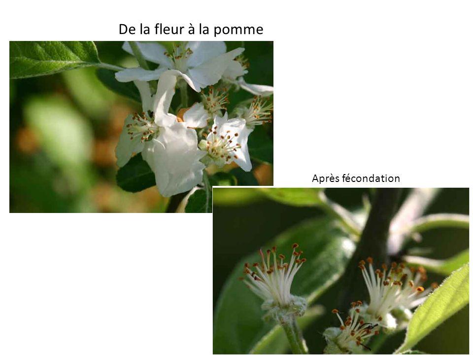 De la fleur à la pomme Après fécondation