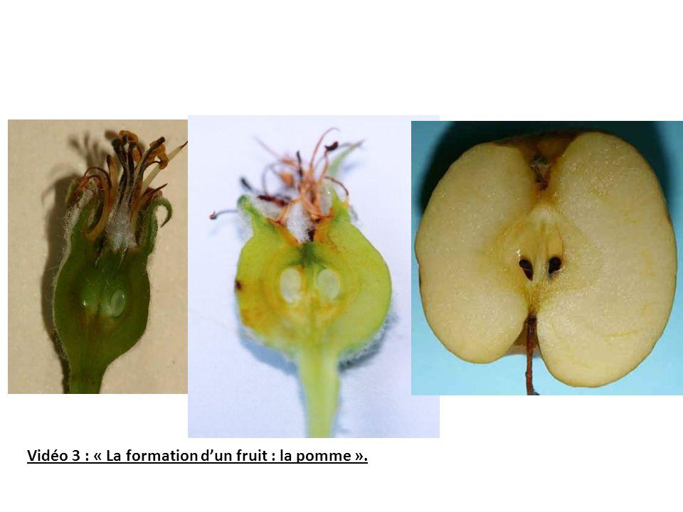 Vidéo 3 : « La formation d'un fruit : la pomme ».