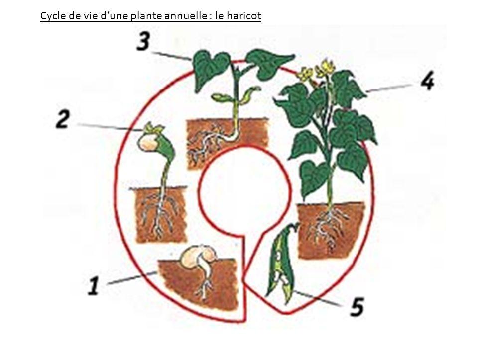 Cycle de vie d'une plante annuelle : le haricot