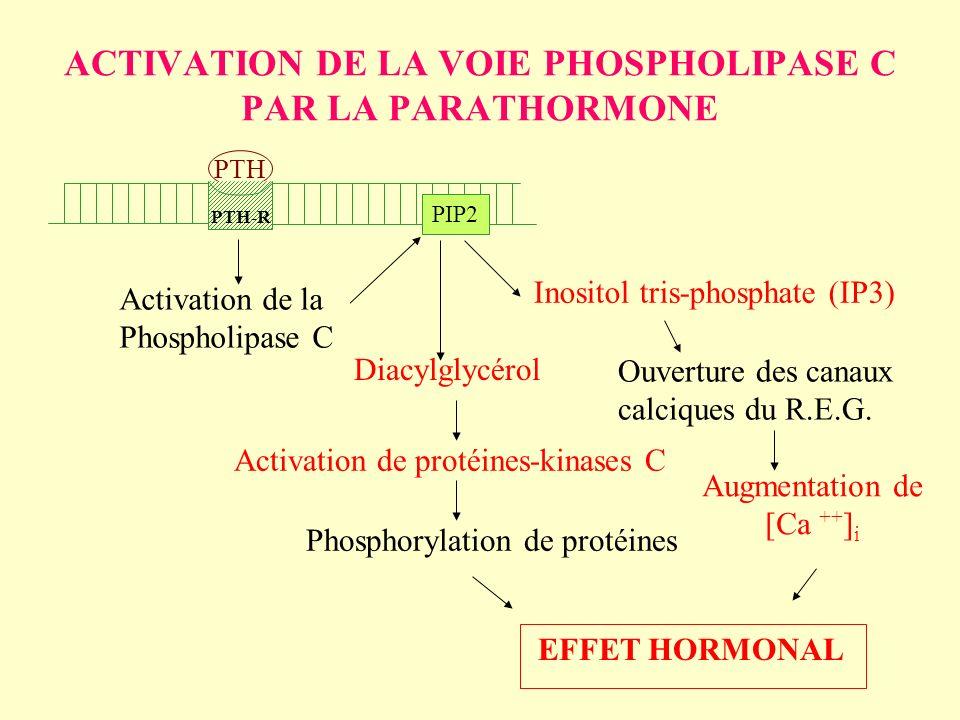 ACTIVATION DE LA VOIE PHOSPHOLIPASE C PAR LA PARATHORMONE