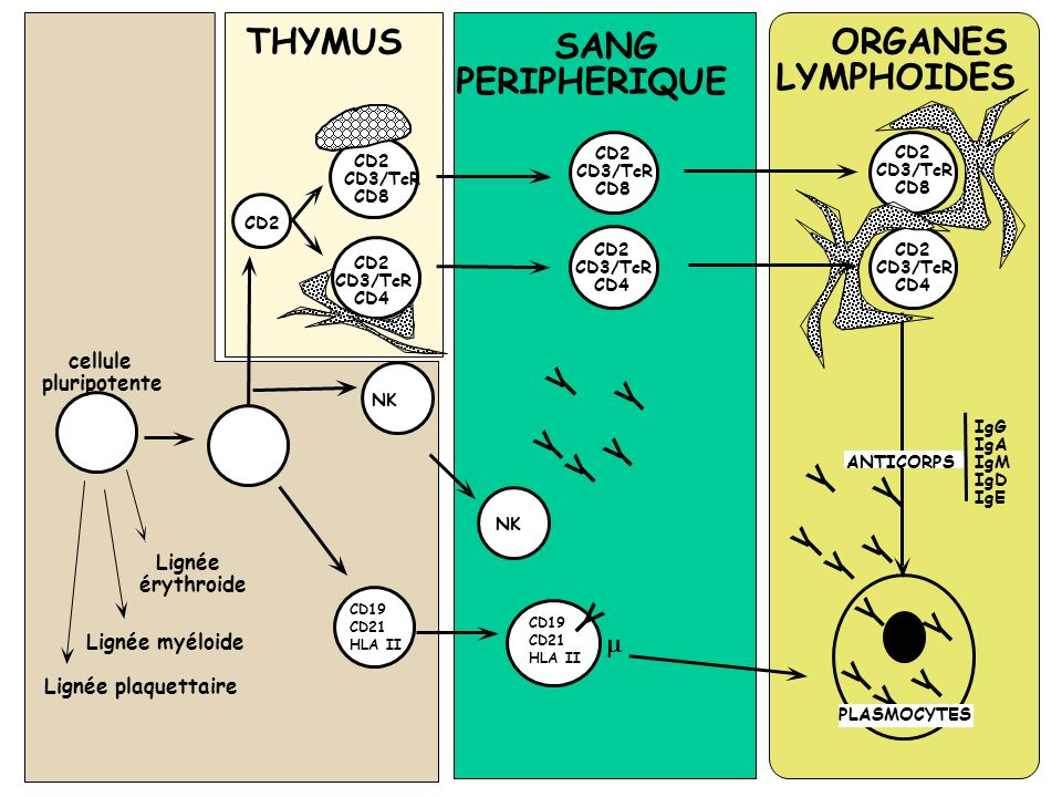 THYMUS SANG ORGANES PERIPHERIQUE LYMPHOIDES V I V I V I V I V I V I V