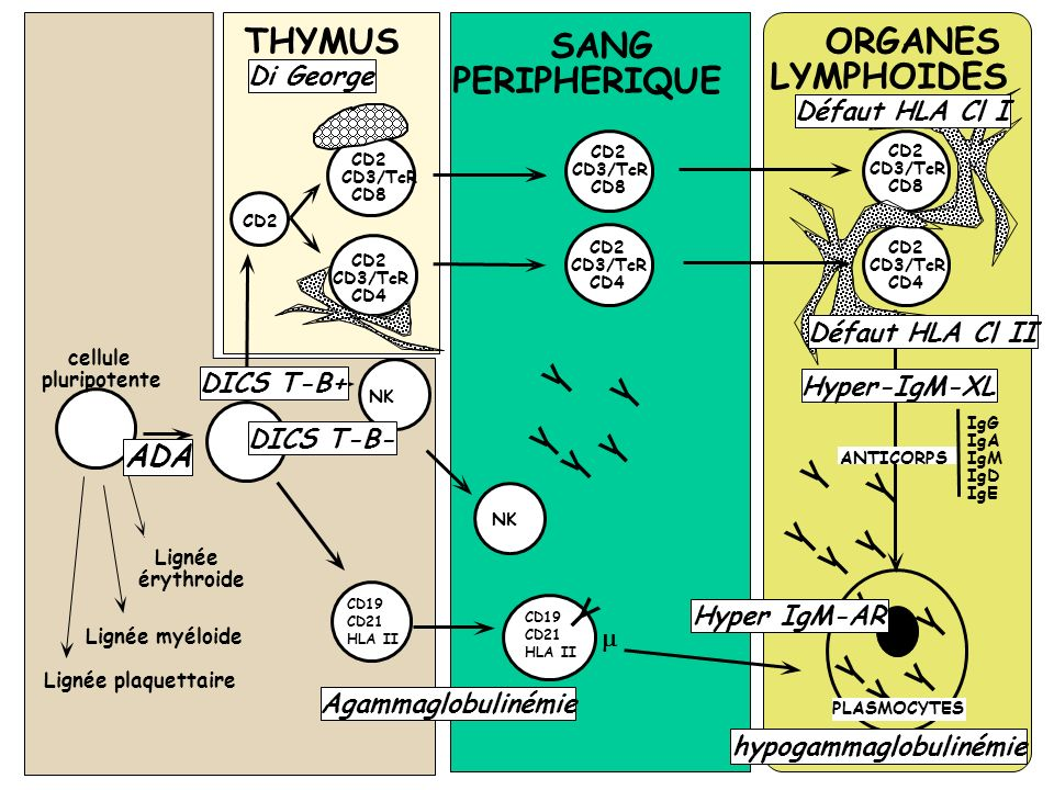 THYMUS SANG ORGANES PERIPHERIQUE LYMPHOIDES ADA Di George