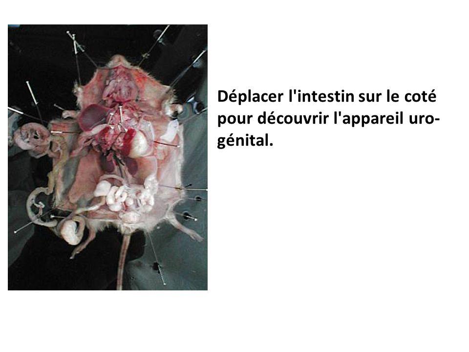 Déplacer l intestin sur le coté pour découvrir l appareil uro-génital.