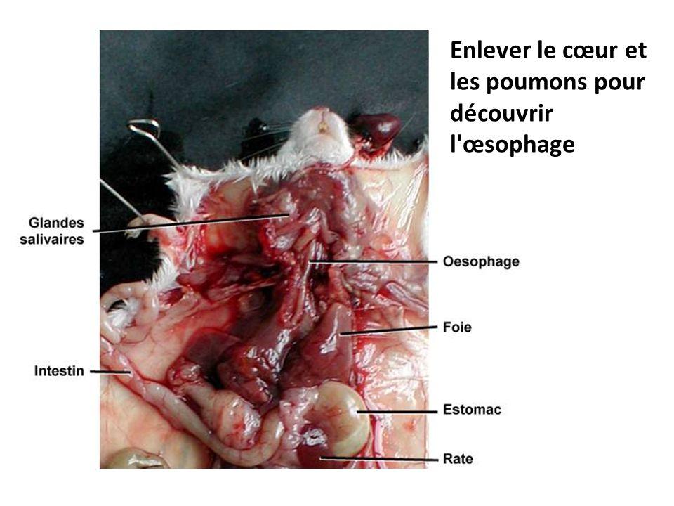 Enlever le cœur et les poumons pour découvrir l œsophage