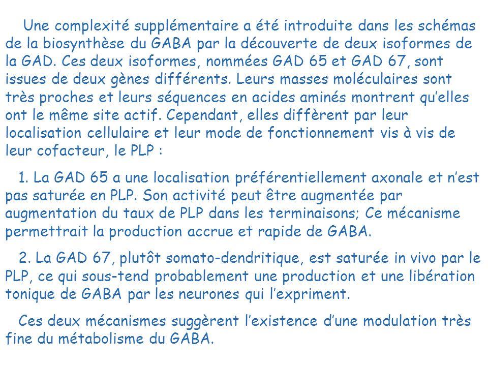 Une complexité supplémentaire a été introduite dans les schémas de la biosynthèse du GABA par la découverte de deux isoformes de la GAD. Ces deux isoformes, nommées GAD 65 et GAD 67, sont issues de deux gènes différents. Leurs masses moléculaires sont très proches et leurs séquences en acides aminés montrent qu'elles ont le même site actif. Cependant, elles diffèrent par leur localisation cellulaire et leur mode de fonctionnement vis à vis de leur cofacteur, le PLP :