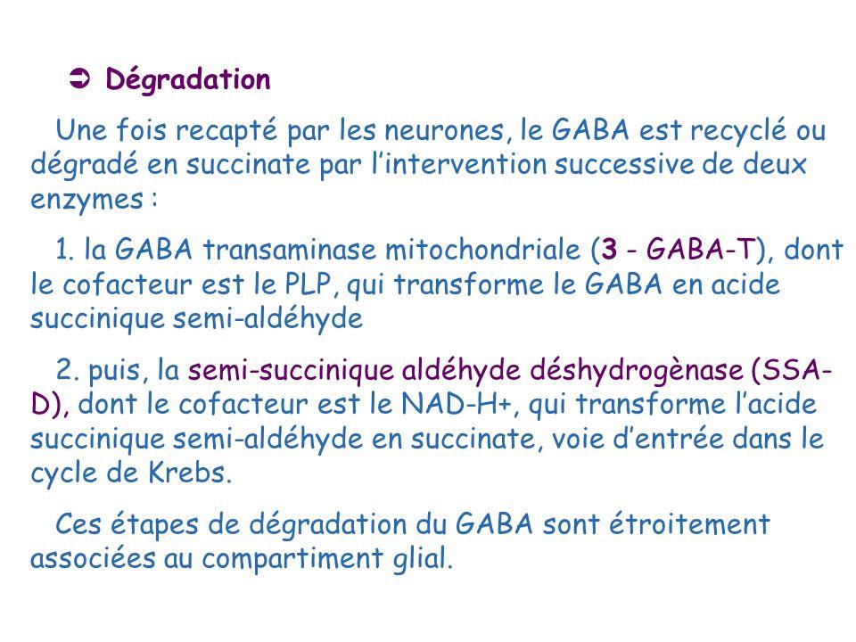  DégradationUne fois recapté par les neurones, le GABA est recyclé ou dégradé en succinate par l'intervention successive de deux enzymes :