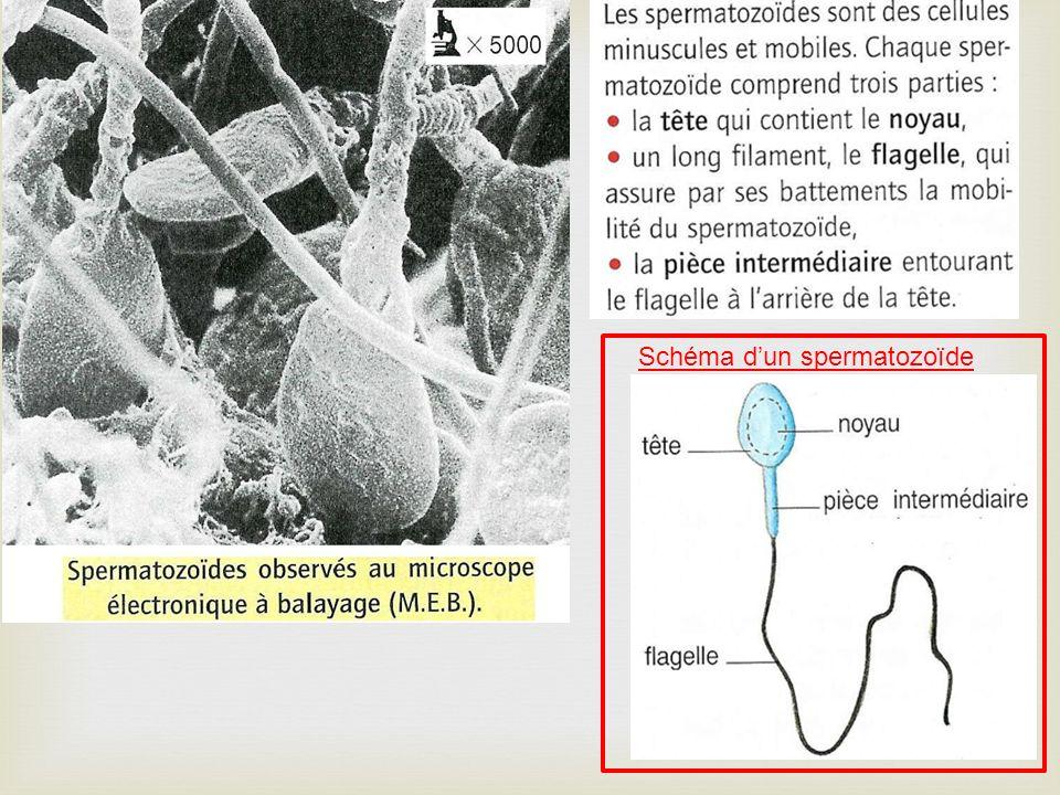 Schéma d'un spermatozoïde