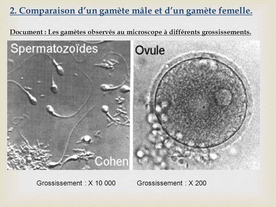 2. Comparaison d'un gamète mâle et d'un gamète femelle.