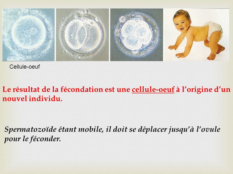 Cellule-oeuf Le résultat de la fécondation est une cellule-oeuf à l'origine d'un nouvel individu.