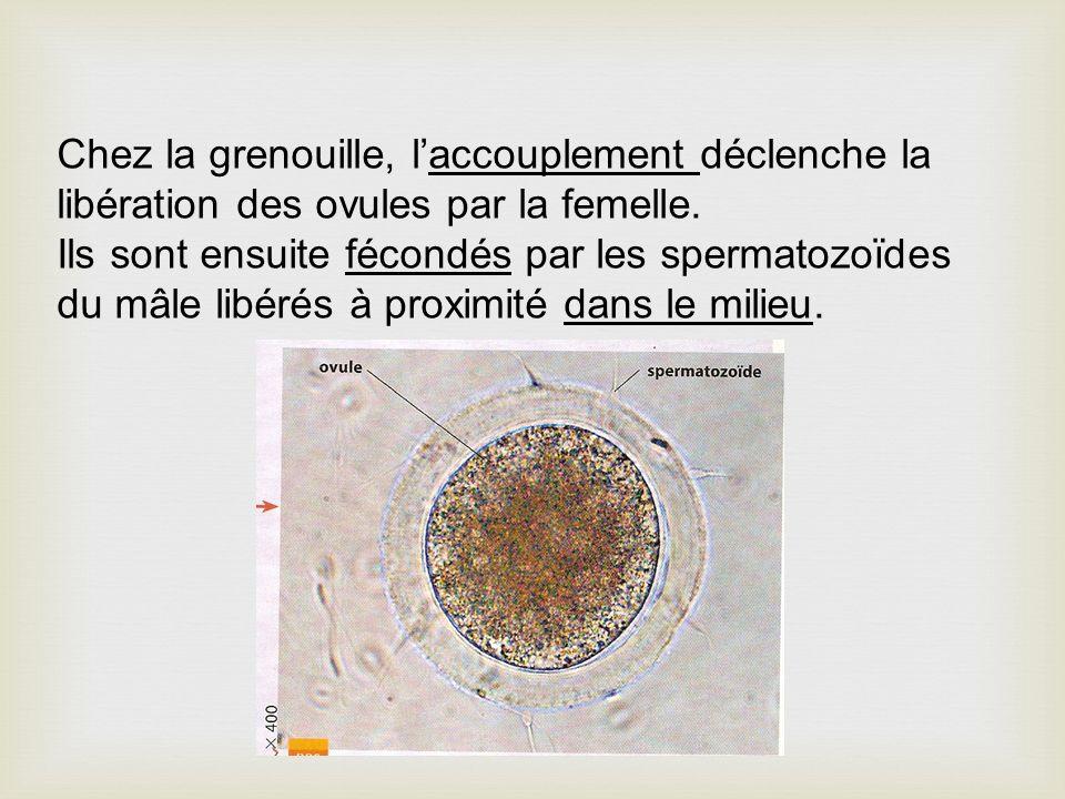 Chez la grenouille, l'accouplement déclenche la libération des ovules par la femelle.