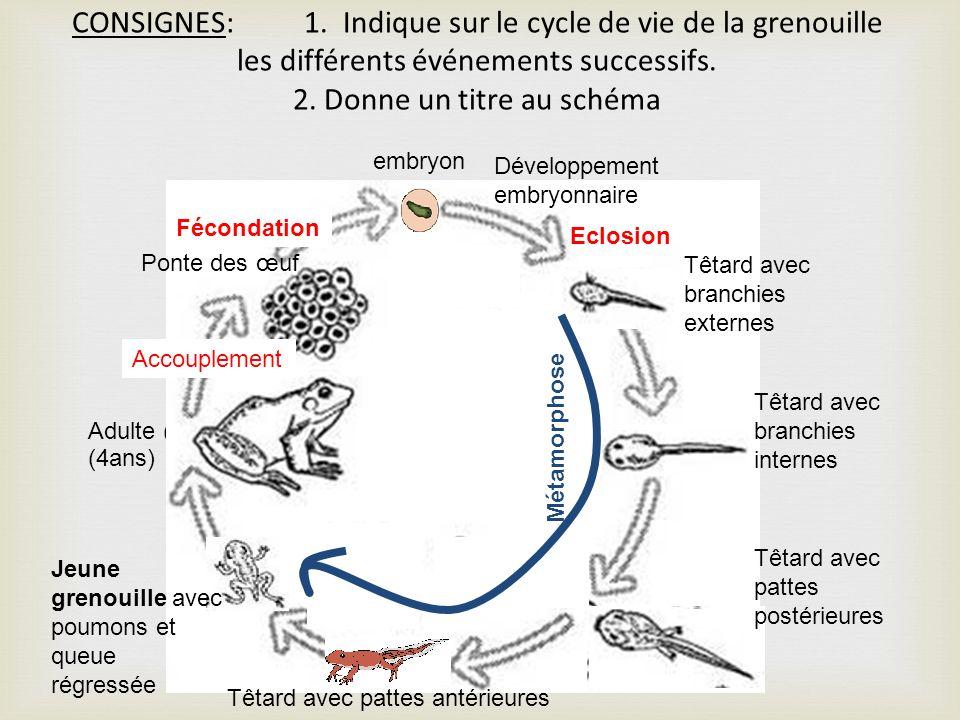 CONSIGNES: 1. Indique sur le cycle de vie de la grenouille les différents événements successifs. 2. Donne un titre au schéma