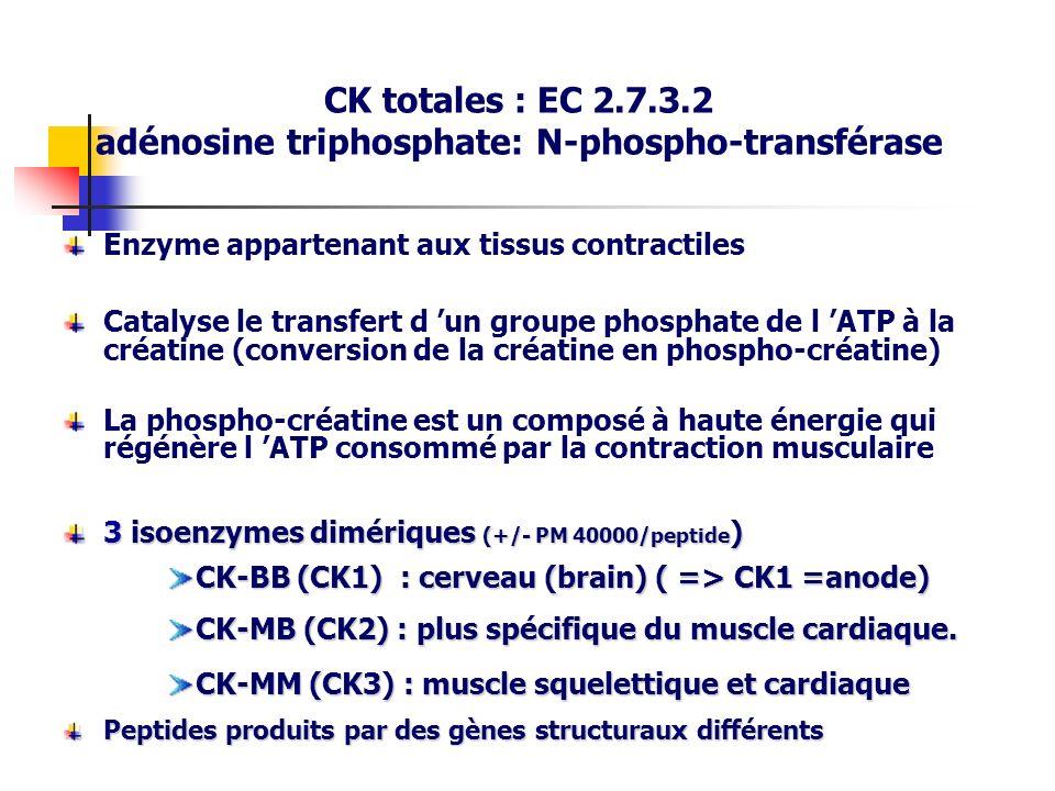 CK totales : EC 2.7.3.2 adénosine triphosphate: N-phospho-transférase